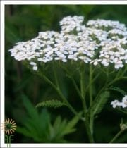 Yarrow, Cottage-white