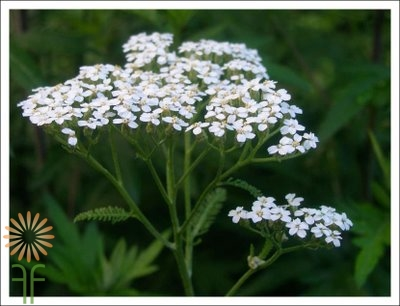 wholesale flowers | yarrow white