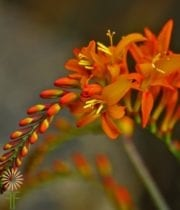 Crocosmia Flower-orange