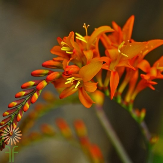 crocosmia-orange