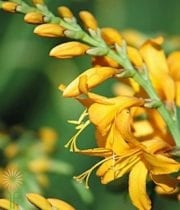 Yellow Crocosmia Flower