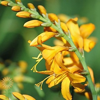 crocosmia-yellow