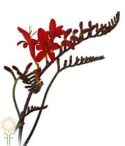 Crocosmia Flower-red