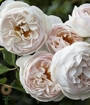 Rose, Garden CA-Cymbeline-light Pink