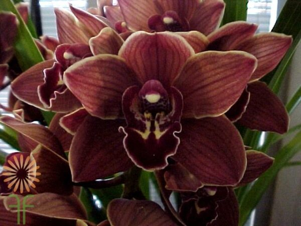 wholesale flowers | orchid- c ymbidium mini chocolate