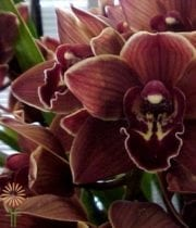 Chocolate Cymbidium Orchids, Mini