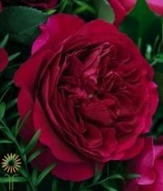 Red Darcey Garden Roses