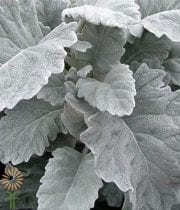 Dusty Miller, Flat Leaf-grey