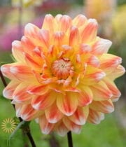 Peach Field Dahlias