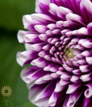 Dahlias, Field-purple/white