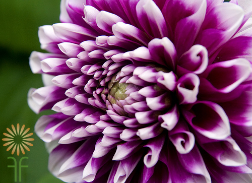 Dahlia-purple-white