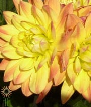 Yellow Field Dahlias