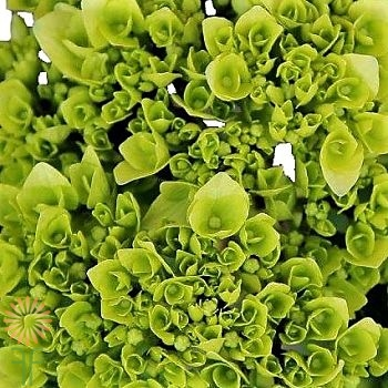 wholesale flowers | Hydrangea -mini green