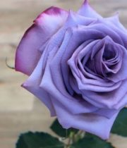 Purple Deep Purple Roses