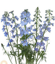 Light Blue Belladonna Delphinium