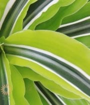 Dracaena Leaves