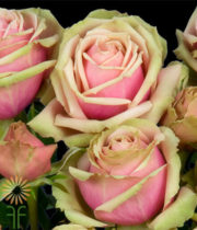 Blush And Green Eden Romantica Garden Spray Roses