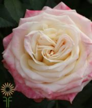 Pink And White Eden Garden Roses