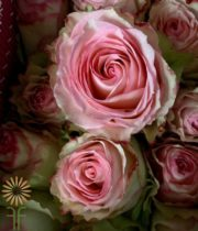Pink And White Esperance Roses