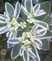 Snow On The Mountain Euphorbia