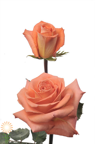 wholesale flowers | rose exotica
