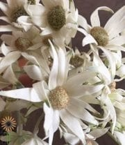 Green Flannel Flower