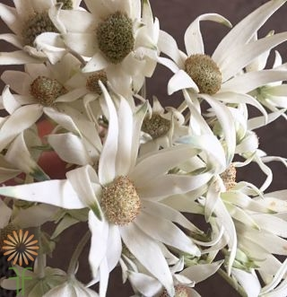 Flannel-flower