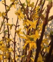 Yellow Flowering Forsythia Branches
