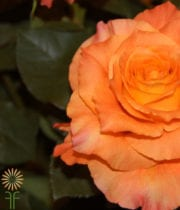 Rose, Garden S.A.-Free Spirit-orange/pink