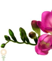 Hot Pink Freesias