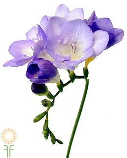 wholesale freesia-_lavender