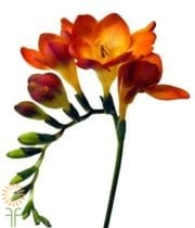 Freesia-orange