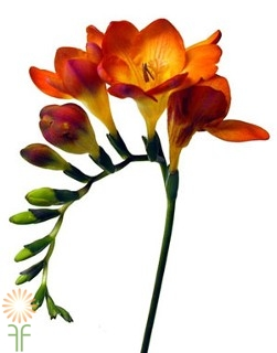 wholesale freesia-_orange