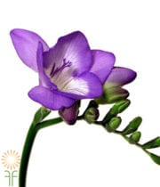 Freesia-purple