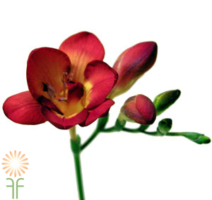 wholesale freesia-_red