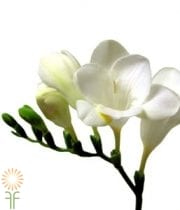 White Freesia