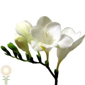wholesale freesia-white