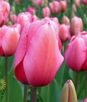 Hot Pink French Tulips