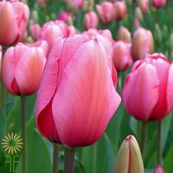 wholesale flowers | tulips French hot pink
