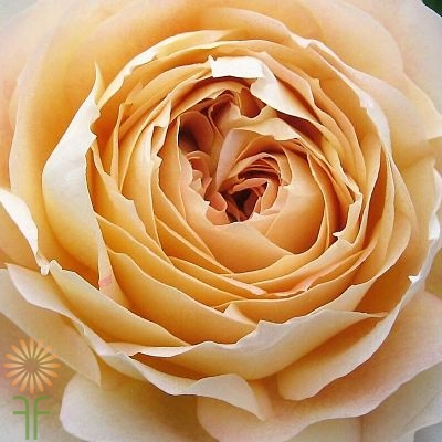 wholesale flowers | garden rose caramel