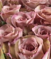 Lavender Antique Hypnose Roses