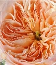 Rose, Garden S.A.-Juliet-peach