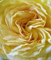 Rose, Garden S.A.-Lemon Pompon-yellow