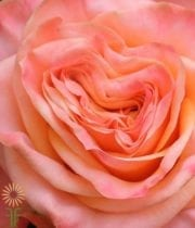 Peach Lovely Hearts Garden Roses