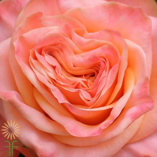 wholesale flowers | garden rose  lovely hearts