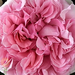 wholesale flowers | garden rose  miranda