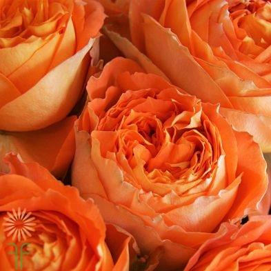 wholesale flowers | garden rose  romantica