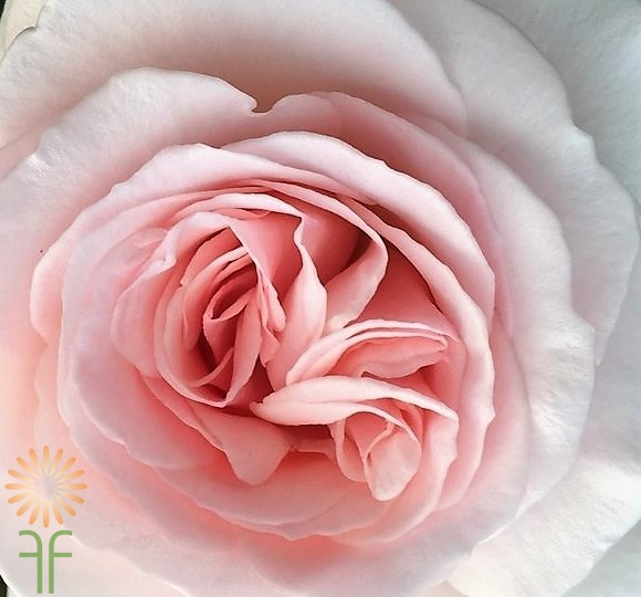 wholesale flowers | garden rose  jardiniere