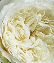 Rose, Garden CA-Patience-white