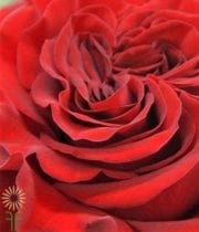 Red Wanted Garden Roses
